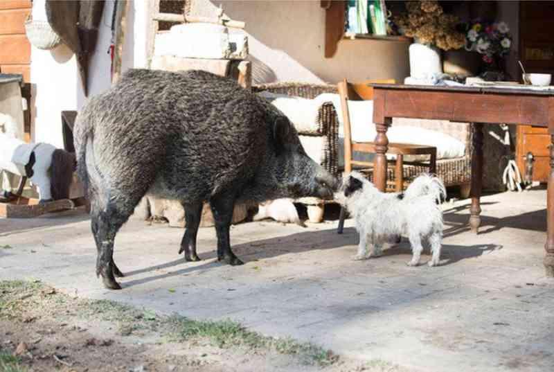 Javali domesticado e cão: agressividade zero.