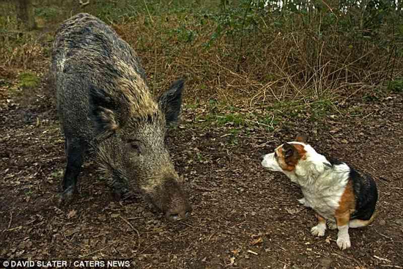 Javali selvagem e cão, convivendo harmoniosamente.