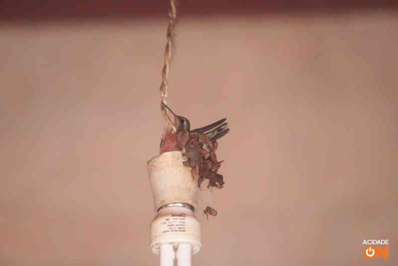 Beija-flor faz ninho e bota ovos em casa de Ribeirão Preto, SP