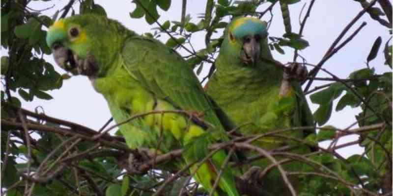 Papagaio é o principal alvo do tráfico de animais silvestres no Brasil