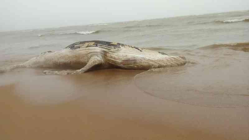 Baleia jubarte encalhada em Mar Azul, Aracruz (Foto: Cidenia Moreira/Arquivo Pessoal)