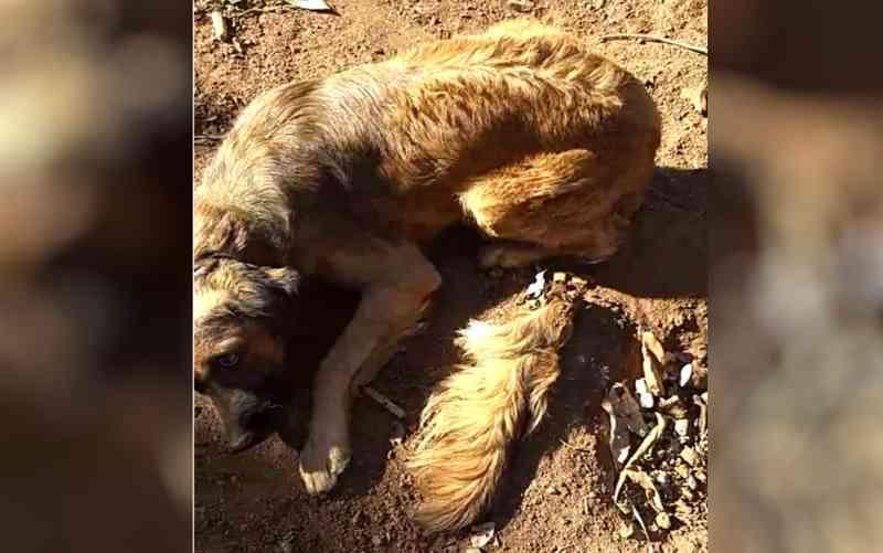 Cachorro tem rabo cortado com facão em Pontalin (Foto: Divulgação/Polícia Civil)