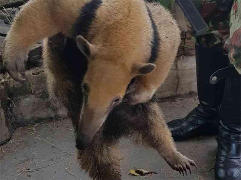 Os militares tiveram de usar luvas especiais e um cambão para capturar o animal. (Foto: Divulgação)