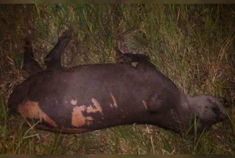 Em seis meses 289 animais foram atropelados na MS-040