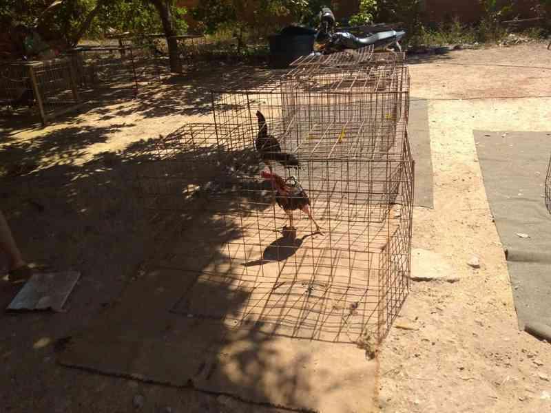 Galos foram encontrados dentro de gaiolas (Foto: TJMT/Divulgação)