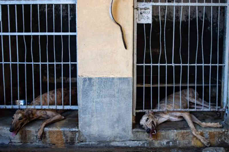 Os cães aguardam novos lares após o fechamento da pista de corrida em Macau, China. (Foto: AFP)