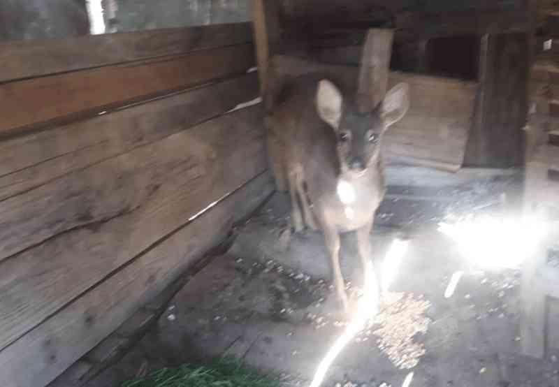 Polícia Ambiental resgata veado-campeiro, animal ameaçado de extinção, na Serra Catarinense