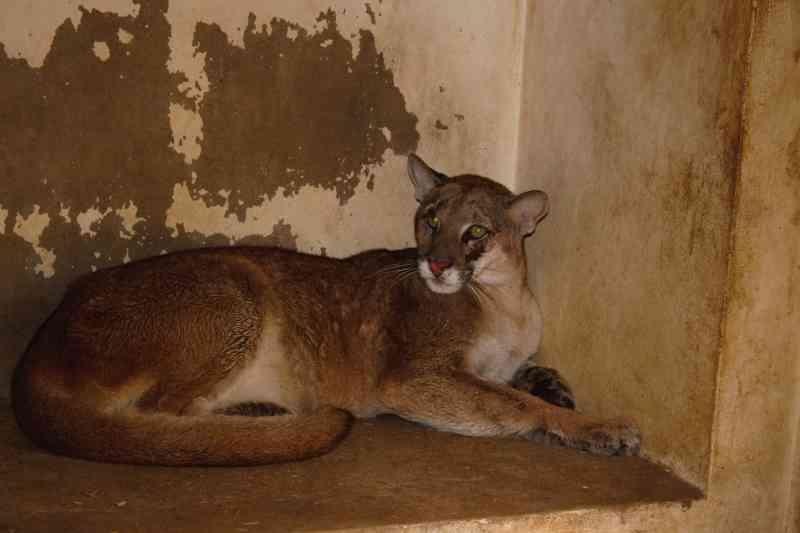 Onça-parda fêmea foi capturada em Tatuí e levada ao Cempas - Divulgação