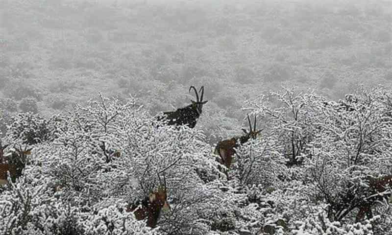 Animais em África do Sul ficaram cobertos de neve; fotos