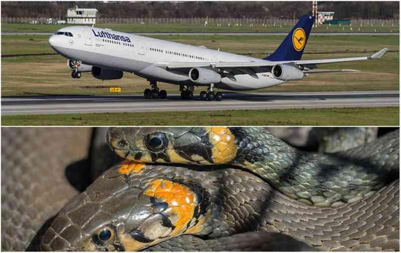 Homem entra em avião com cobras na mala