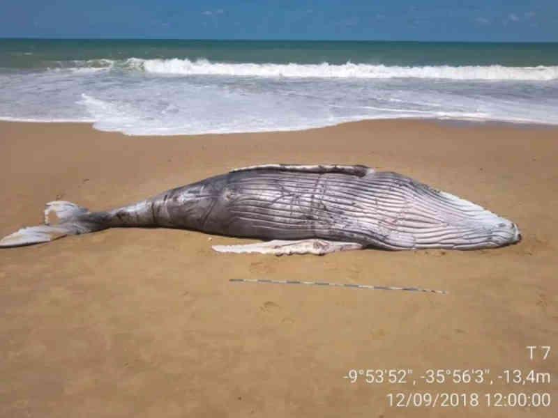 Duas baleias são encontradas mortas no Litoral Sul de Alagoas