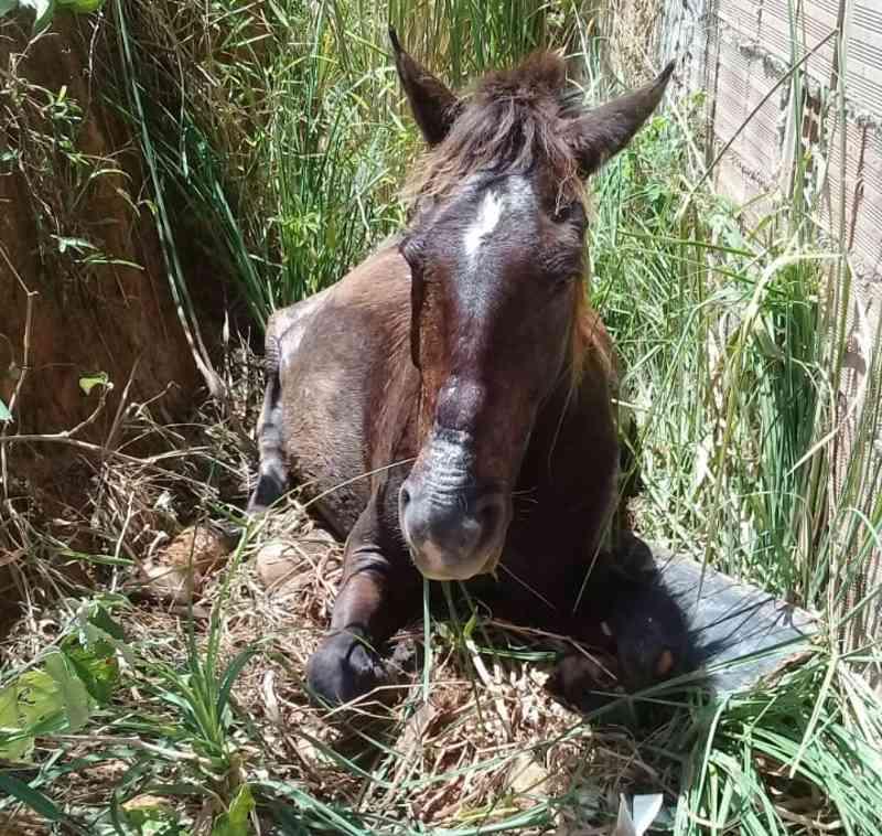 Cavalo cai em buraco e quebra a pata no bairro do São Jorge, em Maceió, AL