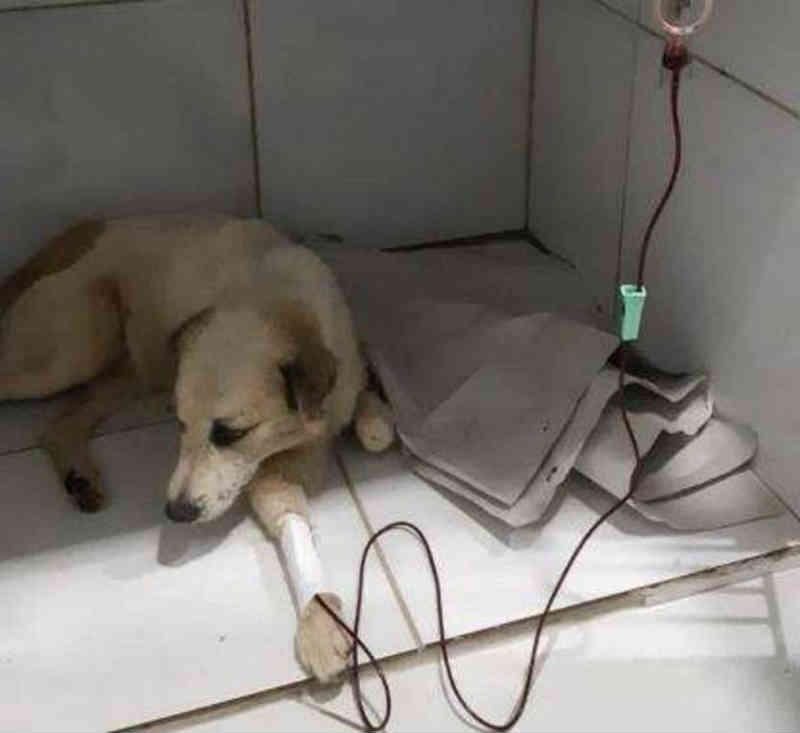 Cão de rua que evitou assalto precisa de doação de sangue após doença, em Manaus, AM