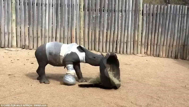 Cria de rinoceronte é encontrada perto de cadáver da progenitora