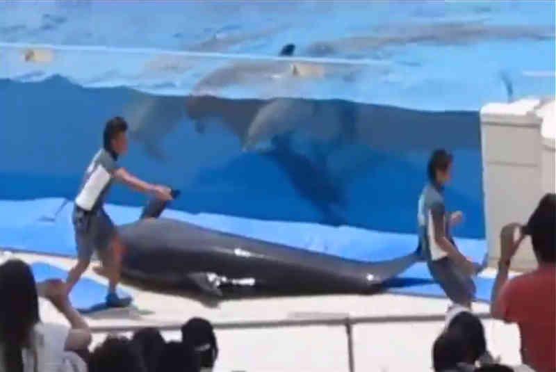 Assistir a este golfinho frustrado se lançar de seu pequeno tanque na frente de uma plateia vai partir seu coração