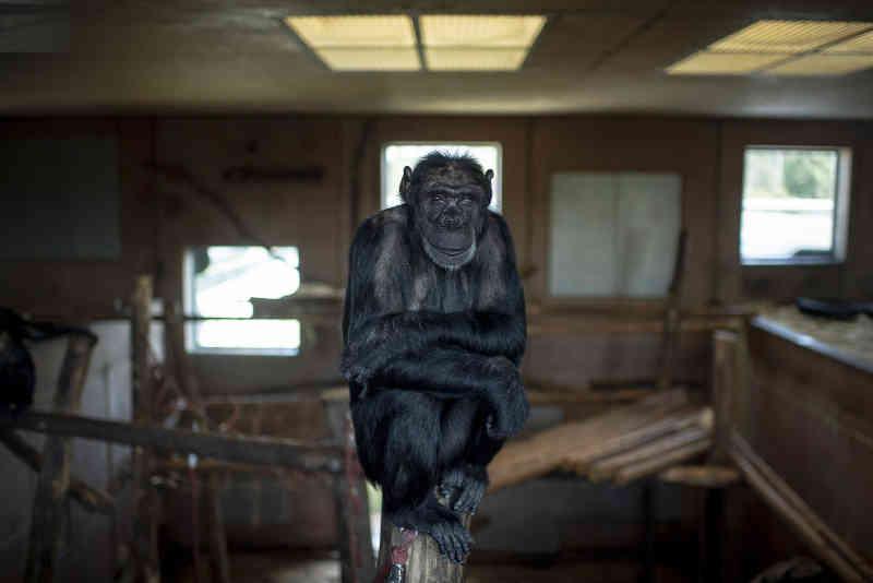Chimpanzés usados para experiências recuperam em santuário na Áustria