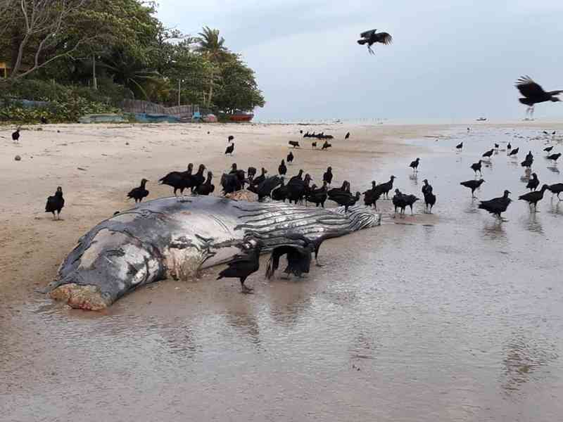 Baleia jubarte encontrada morta na praia de Barrinha, em Cumuruxatiba, na Bahia (Foto: Paulo Mattos Filho/ Site Cumuruxatiba viva vida)