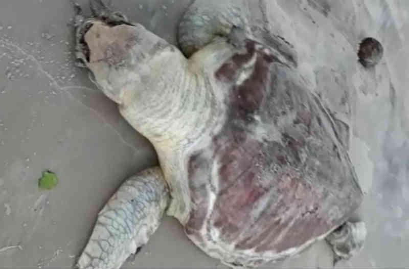 Tartaruga é encontrada morta em praia de Olivença, no sul da Bahia