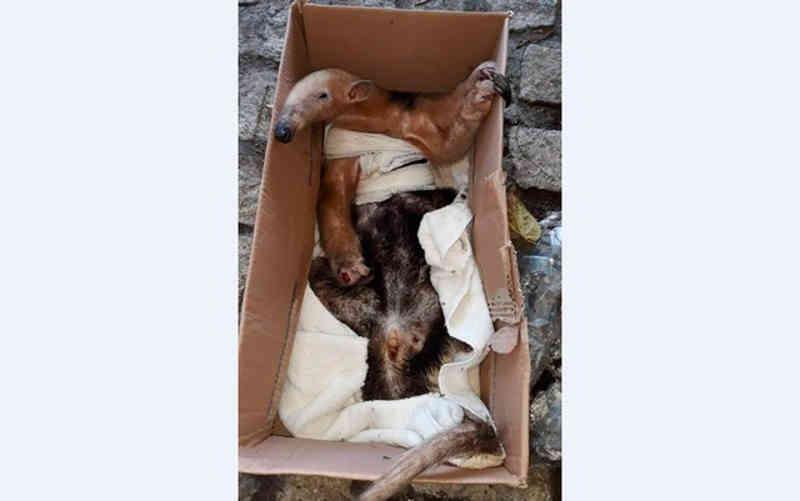 Tamanduá-mirim é resgatado perto de hotel em Trancoso (BA) após ser atingido por tiro de caçador