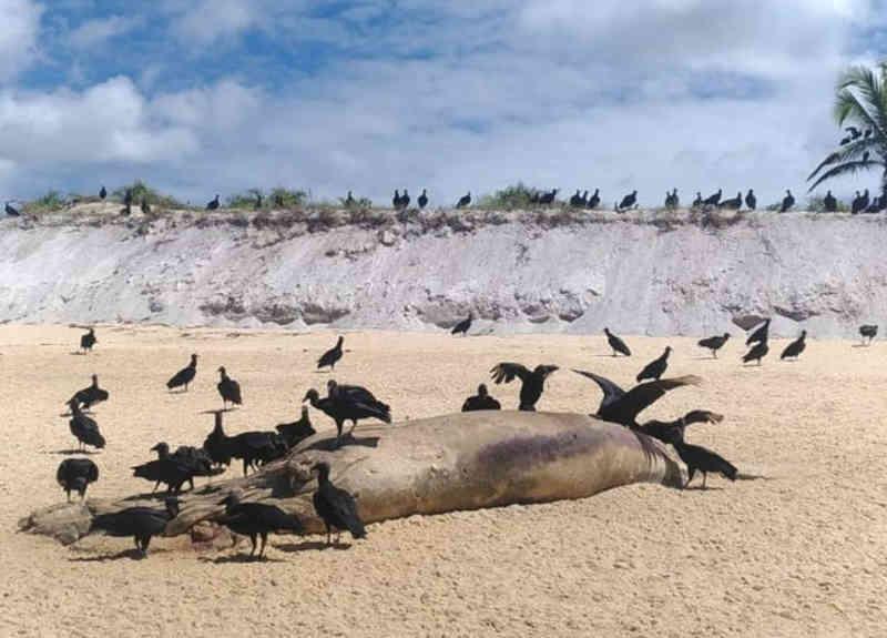 Baleia-jubarte e filhote da mesma espécie são encontrados mortos em praia do extremo sul da Bahia