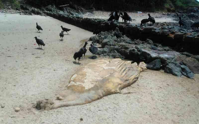 Filhote de baleia jubarte é achado morto em praia de Ilhéus, BA; projeto aponta 17 casos na região
