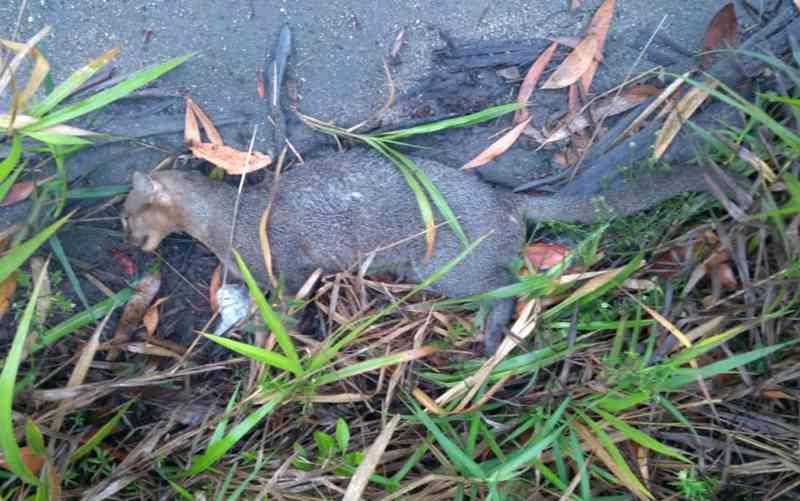 Gato-mourisco é achado morto após ser atropelado em Porto Seguro, BA