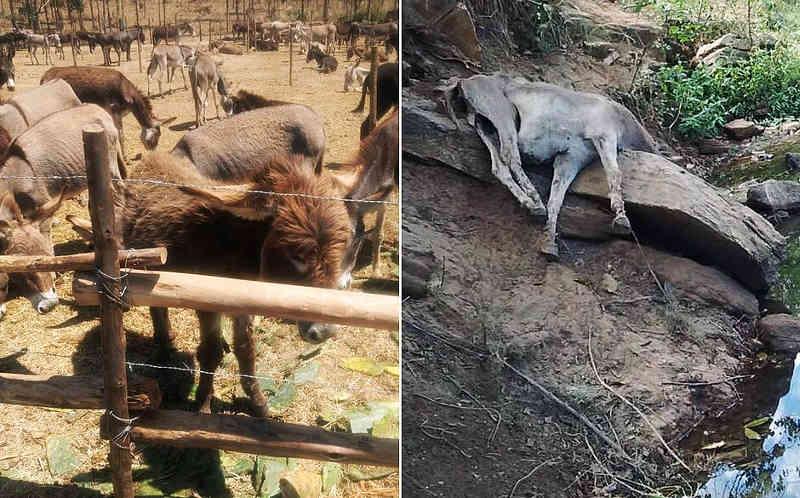 Rumo ao abate, jumentos morrem de fome e sede na Bahia: 'lugar horrível'