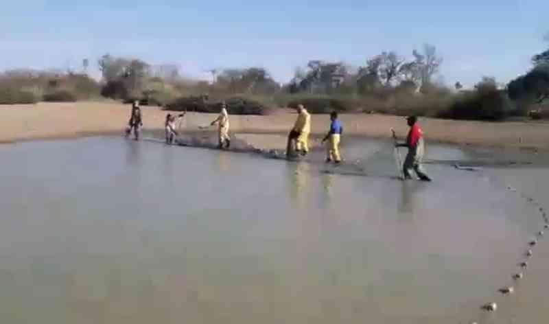 Mais de 100 mil peixes são levados para o Rio São Francisco após seca em lagoas na Bahia