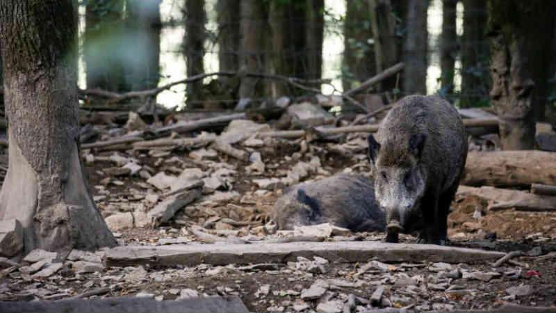 Massacre: Bélgica vai abater 4.000 porcos com pretexto de evitar peste suína africana