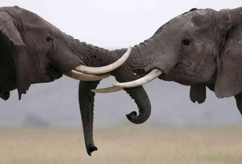 Quase 90 elefantes mortos junto a santuário animal no Botswana