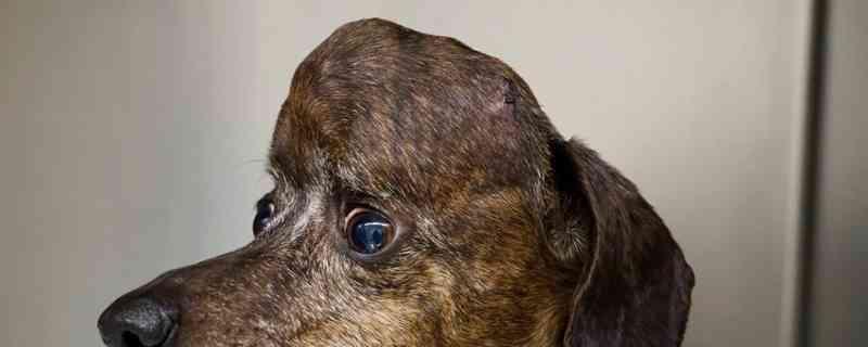 Cadela é salva de tumor com implante de crânio e peça impressa em 3D