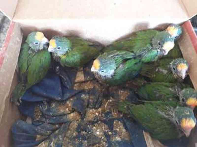 Filhotes de Periquito Rei foram encontrados em caixa de sapatos (foto: PMDF/ CCS - Divulgação)
