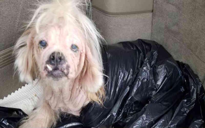 Alguém embrulhou uma cachorra negligenciada e sem pelos em um saco de lixo e a abandonou como lixo