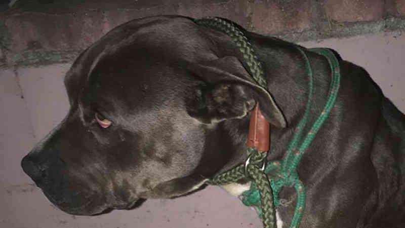 Grupo de resgate disse que a pit bull recém-adotada morreu após sofrer violência sexual e física
