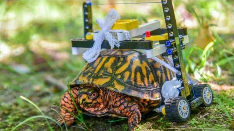 Cadeira de rodas da LEGO ajuda tartaruga ferida a recuperar