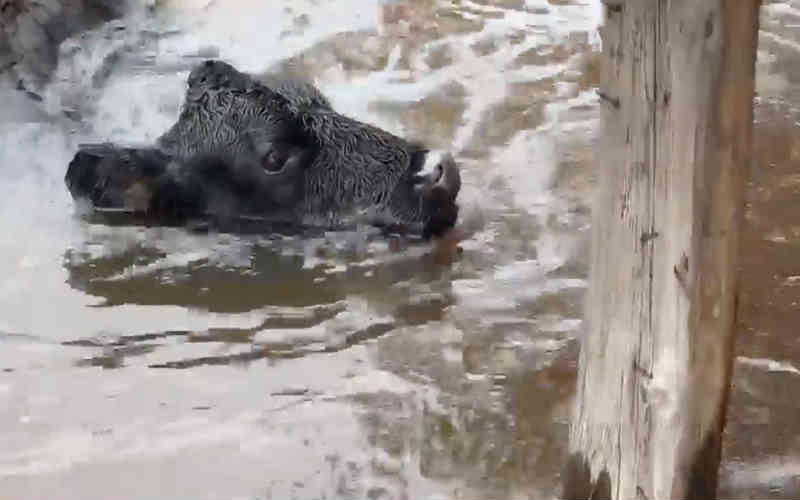 Assistir a heróis salvarem vaca encalhada por conta da inundação do furacão vai fazer o seu dia melhor
