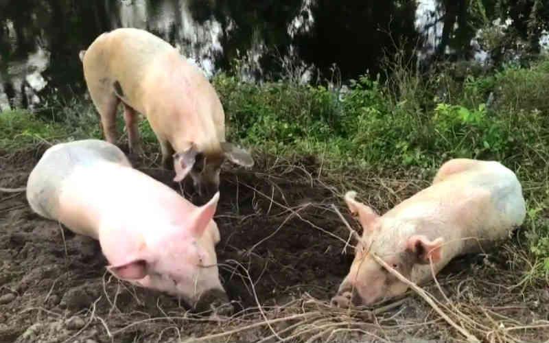 Ativistas incríveis salvam 10 porcos que nadaram por dias para fugir da inundação durante o Furacão Florence