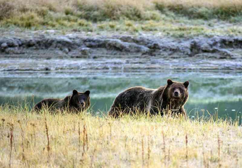 Juiz dos EUA proíbe caça de ursos pardos