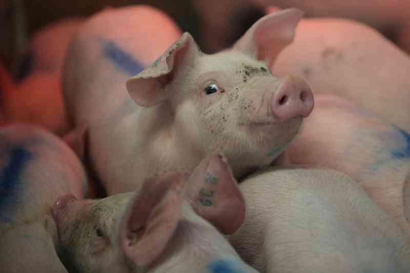 Carolina do Norte é o segundo maior Estado americano em criação de porcos — Foto: Edgard Garrido/Reuters