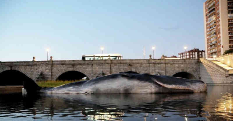 Espanha: Madrilenos surpreendidos com cachalote encalhado no rio