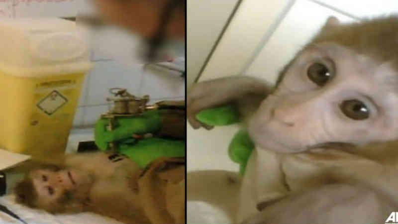 Filmagem terrível mostra macacos sendo tatuados, drogados, testados e depois assassinados em 'instalação de teste em animais'