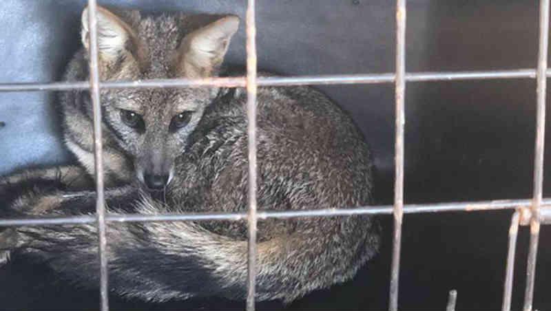 Raposa é recuperada e levada ao Parque de Caldas Novas, GO