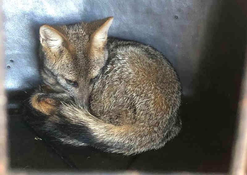 Após ser tratada, raposa que foi atropelada volta recuperada para o Parque de Caldas Novas, GO