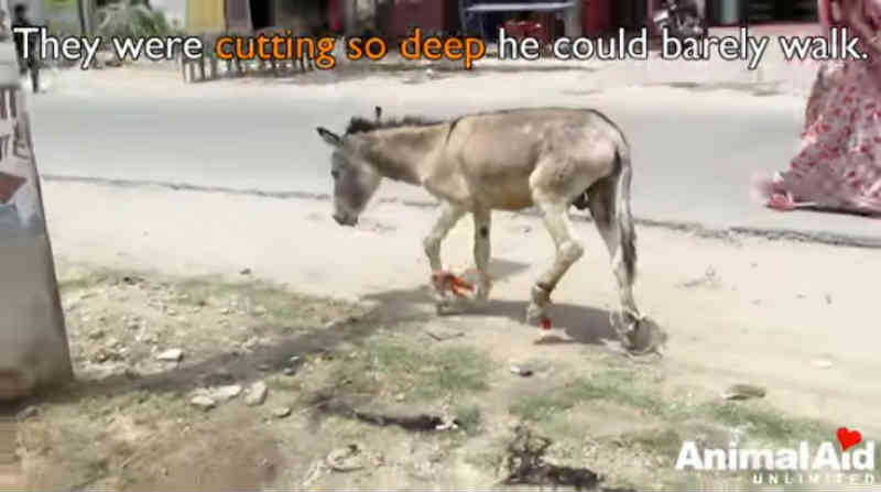 Incrível resgate de burro que quase perdeu seus pés devido a plásticos amarrados encherá seus olhos de lágrimas
