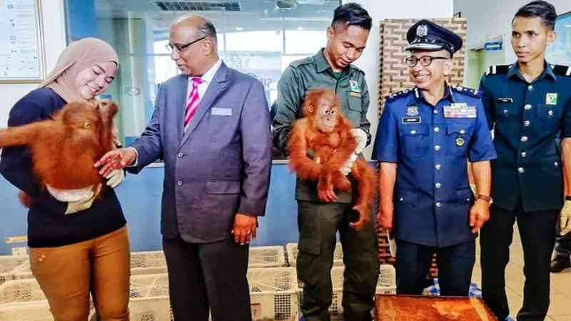 Filhotes de orangotango resgatados de tráfico internacional de animais Foto: ROYAL MALAYSIAN CUSTOMS / AFP