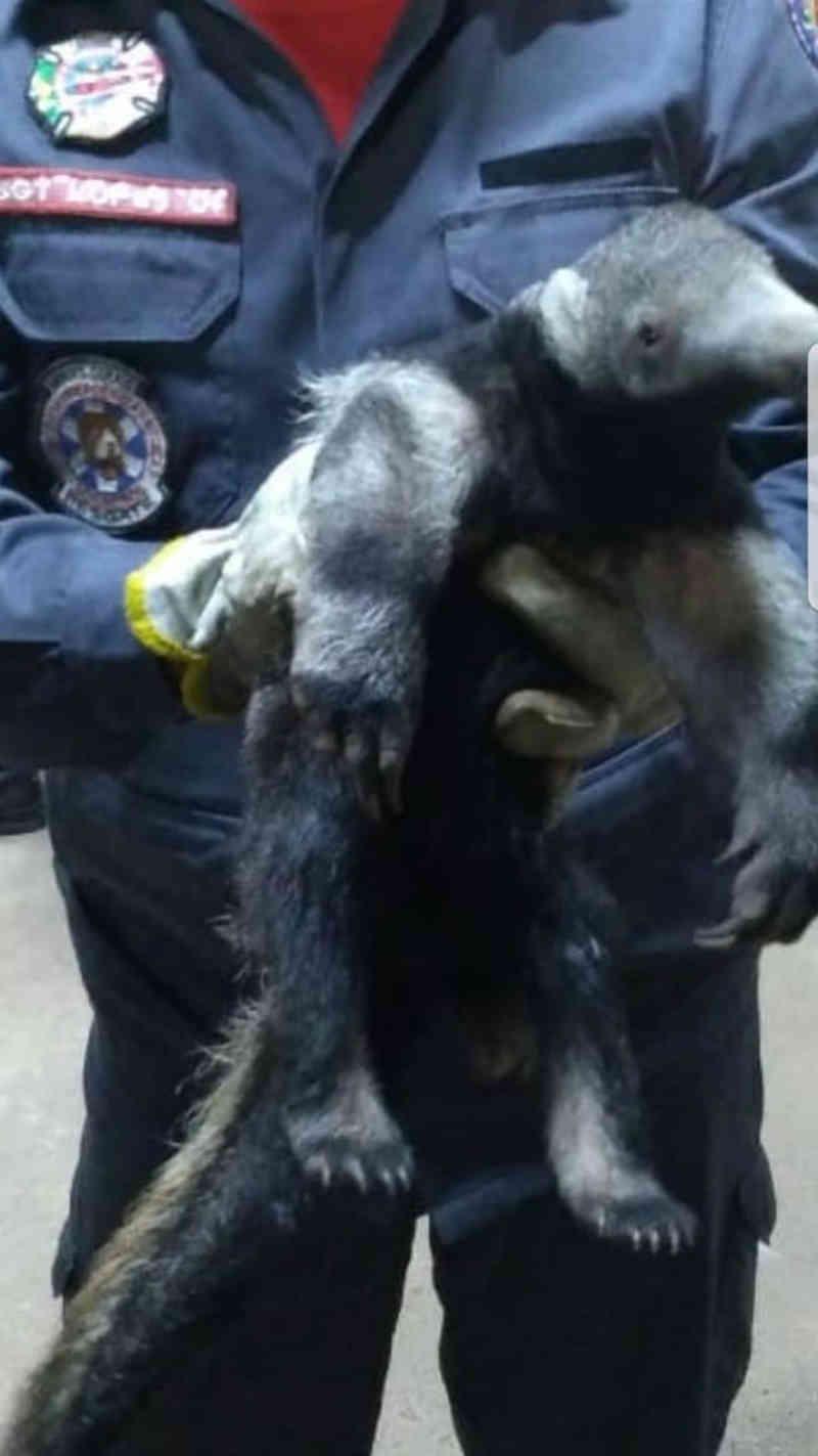 Filhote de tamanduá-bandeira é resgatado pelo Corpo de Bombeiros em Araguari, MG
