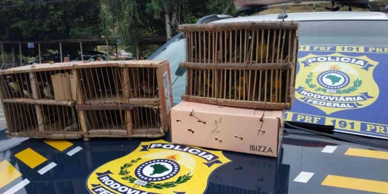 PRF flagra tráfico de animais silvestres na BR-116 em Minas Gerais; 35 pássaros foram apreendidos