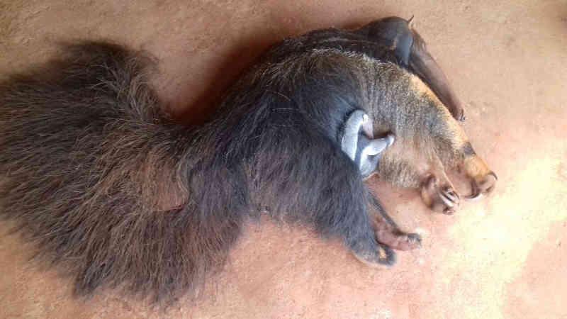 159 animais selvagens são capturados em três meses em Uberlândia, MG