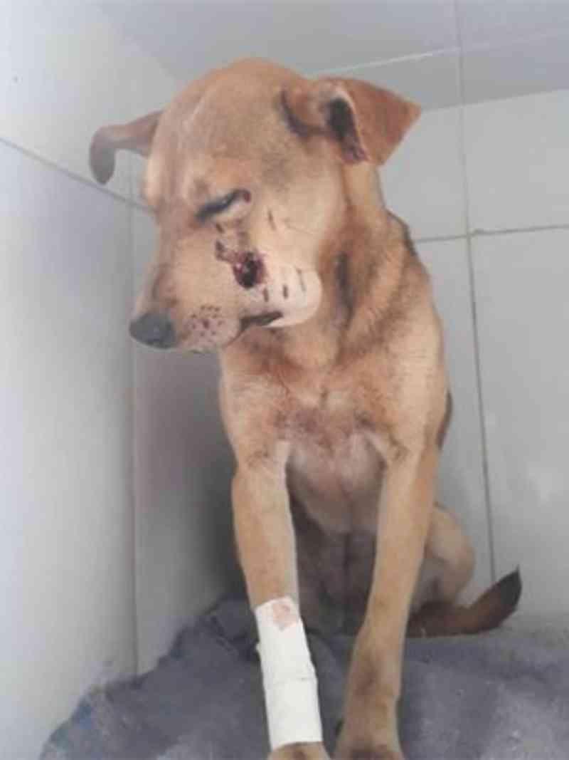 Cadela baleada em sítio em Caeté - Divulgação/SGPAN Caeté