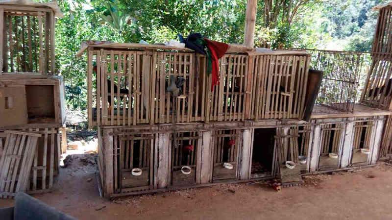 PM Ambiental desmonta rinha de galo e apreende mais de 40 aves em MG